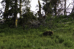 Bearly en modell Arkivfoton