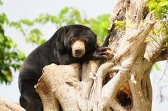 Bearly wach Lizenzfreie Stockfotos