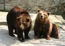Bears. Two bears in zoo, Poland Royalty Free Stock Images