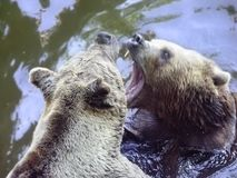 Bears Stock Images