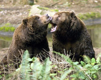 Happy Brown Bears playing together wildlife Royalty Free Stock Photo