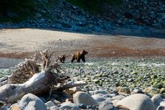 Bears. Bear with a toddler running along the littoral Stock Image