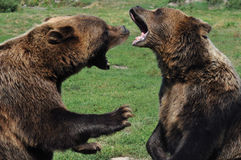Bears. Two brown bears fight with each other in the free one Royalty Free Stock Image