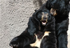 Bears. Telling secrets Royalty Free Stock Image
