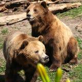 bears Royalty Free Stock Photo