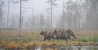 Bears in the autumn mist stock images