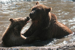 Bears bath. Two brown  bears bath and play in summer Stock Photography
