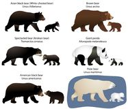 Bears and bear-cubs. Collection of different species of bears and bear-cubs Royalty Free Stock Photo