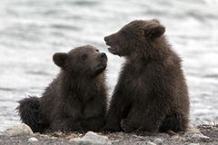 Bears. The bear cubs communicate on the lake Stock Photography