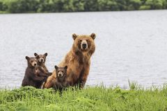 3 bears. Bears in the nature Stock Images