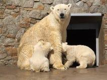 Bears breast feeding Stock Photo