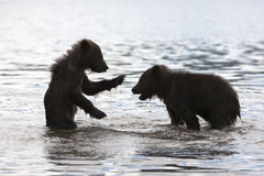 Bears. The brown bear cubs play in the water Kuril lake Stock Image