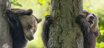 Bears. Brown bears on a trees Royalty Free Stock Photography