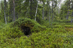 Bears den. Excavated from an anthill, photo from North of Sweden Royalty Free Stock Photo