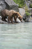 Bears Drinking Water Stock Image