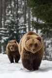 Family bear in the winter forest. Bears family goes through the winter forest Royalty Free Stock Images