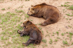 Bears. On the field in natural park in Spain Stock Photo