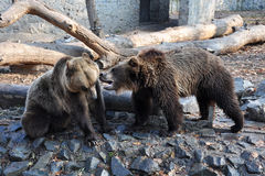 Bears fighting Royalty Free Stock Photos