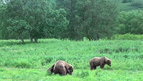 Bears fighting. Grizzly Bears fighting, Summer Kamchatka stock video footage