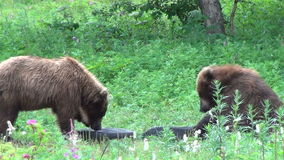 Bears fighting. Two Grizzly Bears fighting, Summer stock video footage