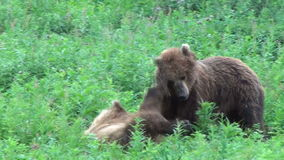 Bears fighting. Two Grizzly Bears fighting, Summer stock footage
