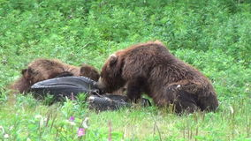 Bears fighting stock footage