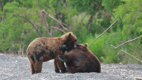 Bears fighting. Two Grizzly Bears fighting, Summer stock video