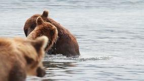 Bears fighting stock video