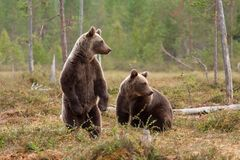Bears in the forest looking around royalty free stock photography