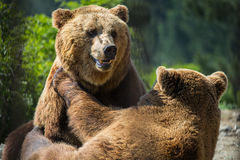 Bears in forest royalty free stock photos