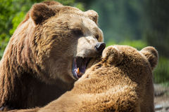 Bears in forest stock images