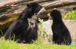 bears funny Stock Images