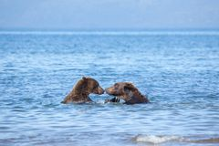 Bears grizzly couple in love. Heads of bBears grizzly ursus arctos swim in water in lake. Bears stand nose to nose royalty free stock photo