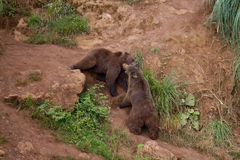 Bears II. Two bears fighting at Cabarceno stock photo