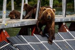 Bears. Kamchatka. Stock Photography