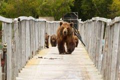 Bears. Kamchatka. Royalty Free Stock Photography