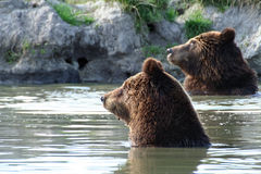 Bears in the lake. Two bears (Ursus arctos) swimming and looking in lake Royalty Free Stock Photos