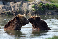 Bears in the lake. Two bears (Ursus arctos) playing in water Royalty Free Stock Image