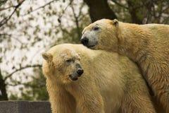 Bears In Love. Polar bears in love Royalty Free Stock Image
