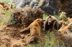 Bears marking territory. Two bears fighting to dominate royalty free stock photos