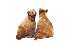 Bears mating. A isolated picture of two bears during mating season Stock Photography