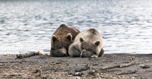 Bears and mosquitoes Royalty Free Stock Image