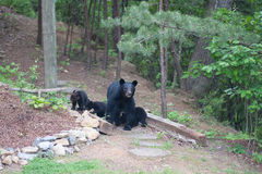 Bears on the path Royalty Free Stock Photos
