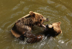 Bears playing in water Royalty Free Stock Photo