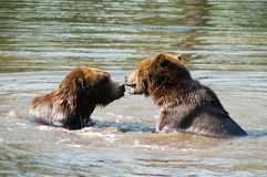 Bears playing in water. Side view of two brown bears playing in water Stock Images