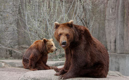 Bears on the rock. Two brown bears on the rock Stock Images