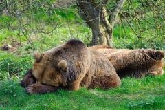 Bears sleeping. Two brown bears sleeping in the sun at Whipsnade zoo Stock Photo