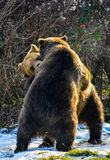 Bears sparring Royalty Free Stock Photo