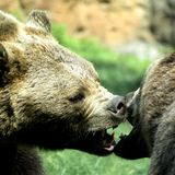 Bears struggle with powerful shots and open jaws bites Royalty Free Stock Image