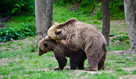 Bears. Two Brown bears in the wild Stock Photo